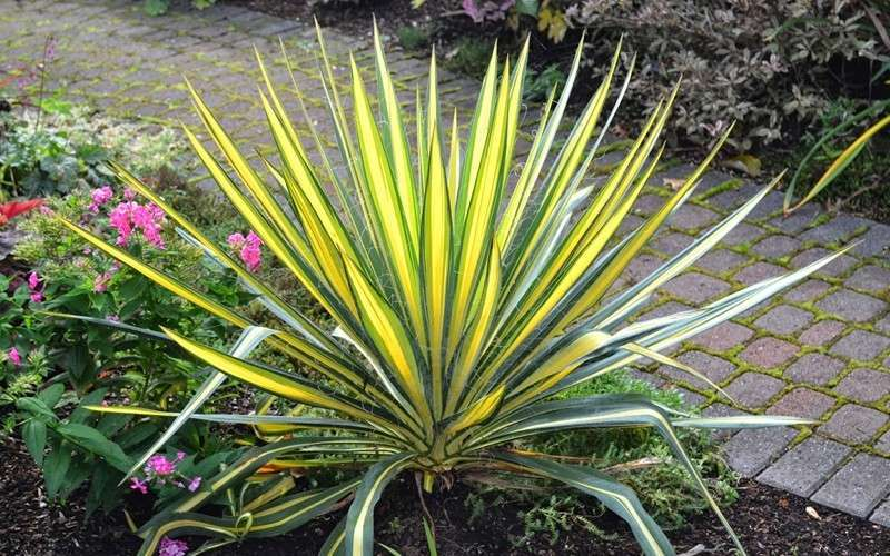 Buy Color Guard Yucca Plant Free Shipping 2 Gallon