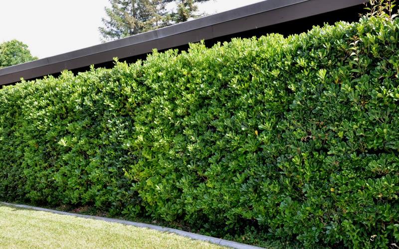 https://www.wilsonbrosgardens.com/assets/images/Pittosporum-Green-Tall-Hedge.jpg