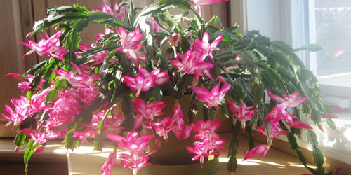 How To Plant & Grow a Christmas Cactus