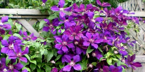 How To Plant, Grow & Care For Clematis Vines