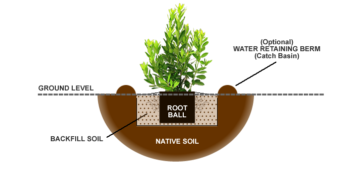 How To Plant Fertilize Prune Amp Water Anise Trees