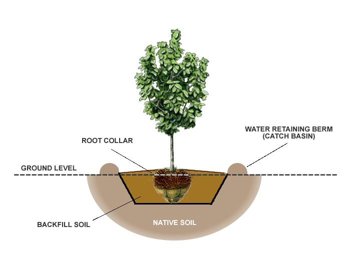 How To Plant A Balled  U0026 Burlap Tree From The Experts At