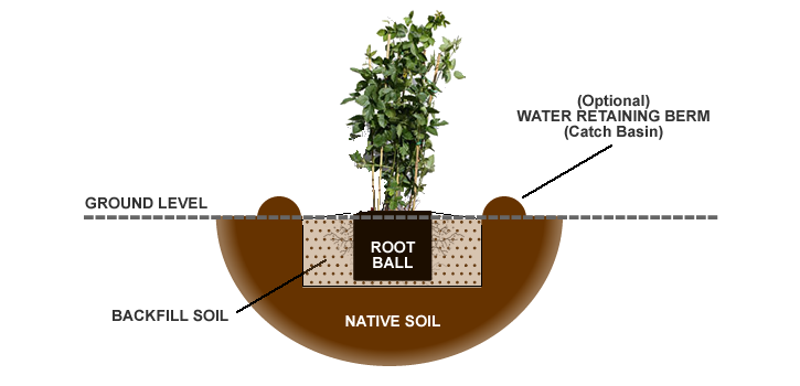 How to plant grow raspberry bush plants from the experts at wilson it may be necessary to place some of your backfill soil mixture in the bottom of the hole to achieve proper planting height ccuart Images