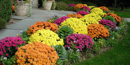 how to plant garden mums - Garden Mum