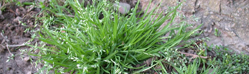 How To Prevent And Control Poa Annua or Annual Bluegrass In Lawns
