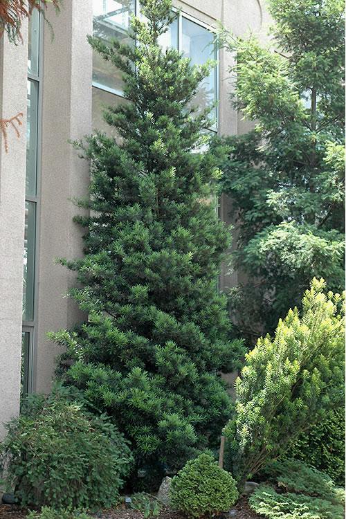 Buy Podocarpus Macrophyllus Upright Yew For Sale Online