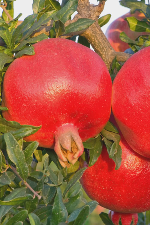 Russian 26 Cold Hardy Pomegranate - 6 Pack of 1 Gallon Pots