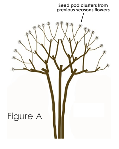 How to prune a crape myrtle tree the right way wilson bros gardens in studying the diagram more closely you will notice where pruning cuts were made in previous years and that wherever cuts were made two new branches ccuart Images