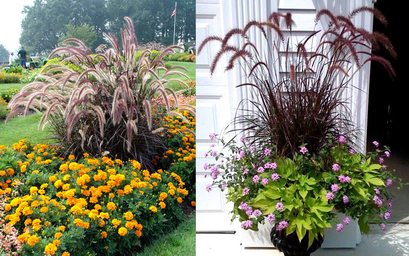 Ornamental Grasses In Containers Buy purple fountain grass pennisetum rubrum for sale online from touch to zoom workwithnaturefo