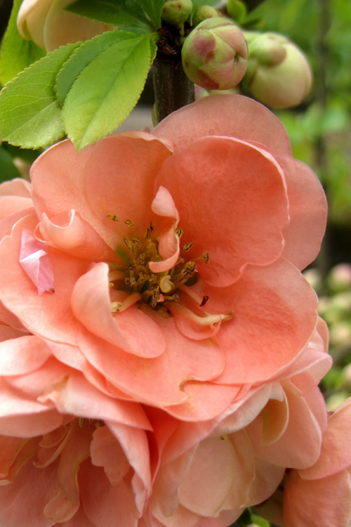 Buy Cameo Flowering Quince Free Shipping 3 Gallon