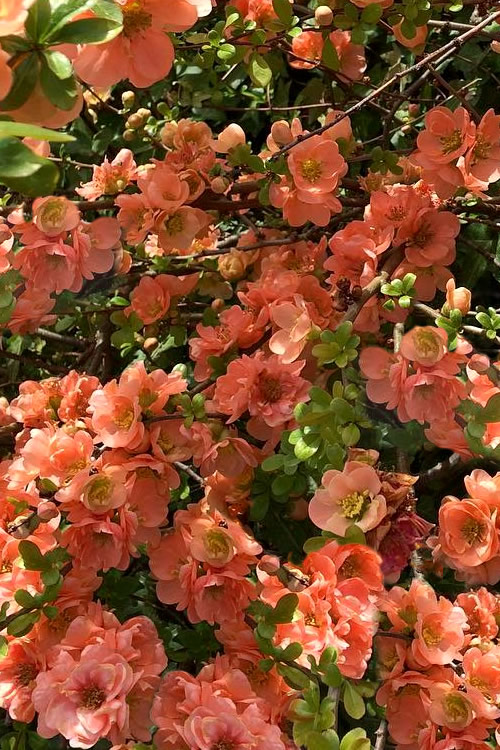 Cameo Flowering Quince - 1 Gallon Pot