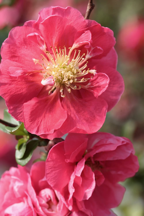 Buy double take pink storm quince chaenomeles speciosa for sale double take pink storm flowering quince mightylinksfo