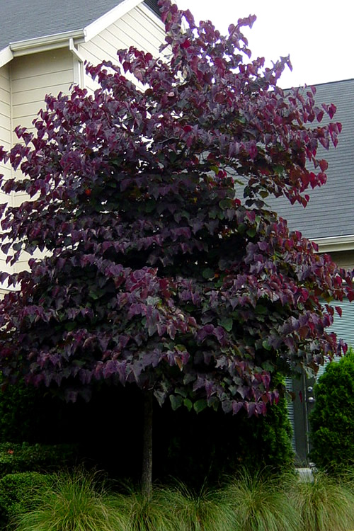 Buy Forest Pansy Purple Leaf Redbud Tree Free Shipping 2