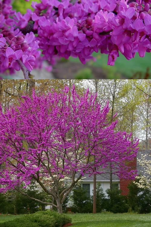 Buy Oklahoma Redbud Tree For Sale Online From Wilson Bros