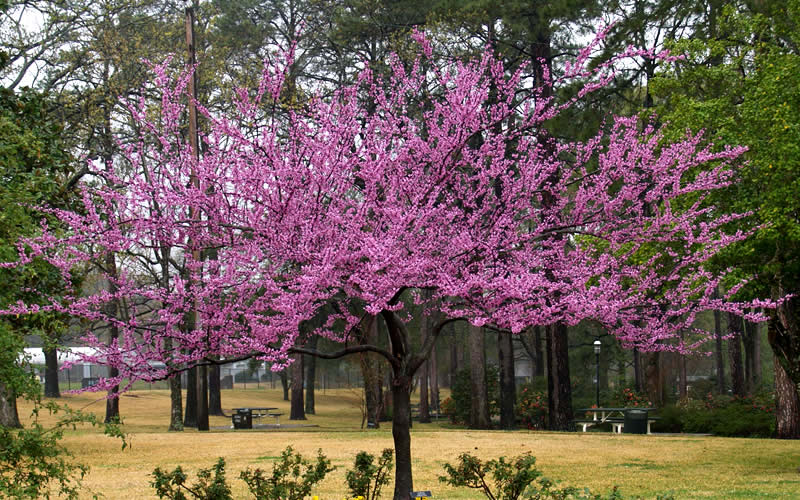 It S Easy To Plant Care For Your The Rising Sun Redbud