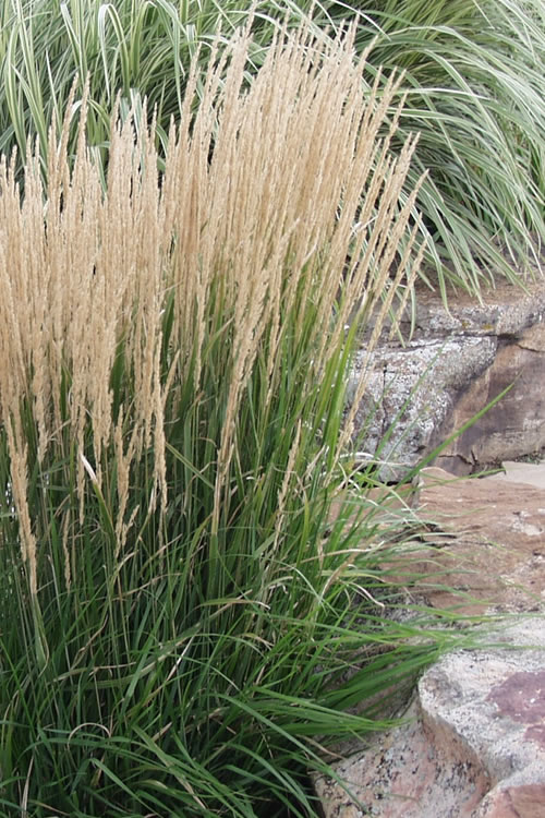 Karl Foerster Feather Reed Grass - Calamagrostis x acutiflora