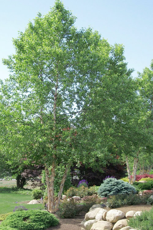 River Birch Tree (Multi Trunk) - 2 Gallon Pot