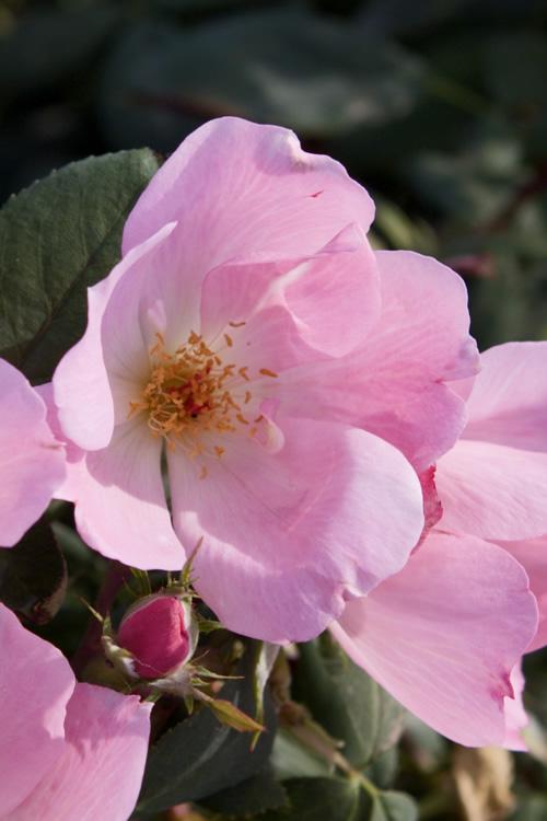 Buy Blushing Pink Knock Out Rose Free Shipping 1
