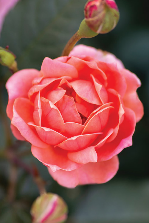 Roses For Sale Near Me >> Buy Coral Knock Out Rose Free Shipping For Sale
