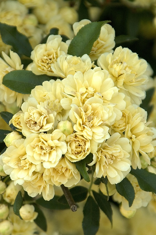 Buy Lady Banks Yellow Rose For Sale Online From Wilson