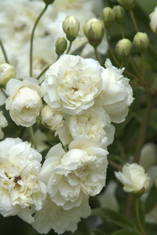 Lady Banks White Rose