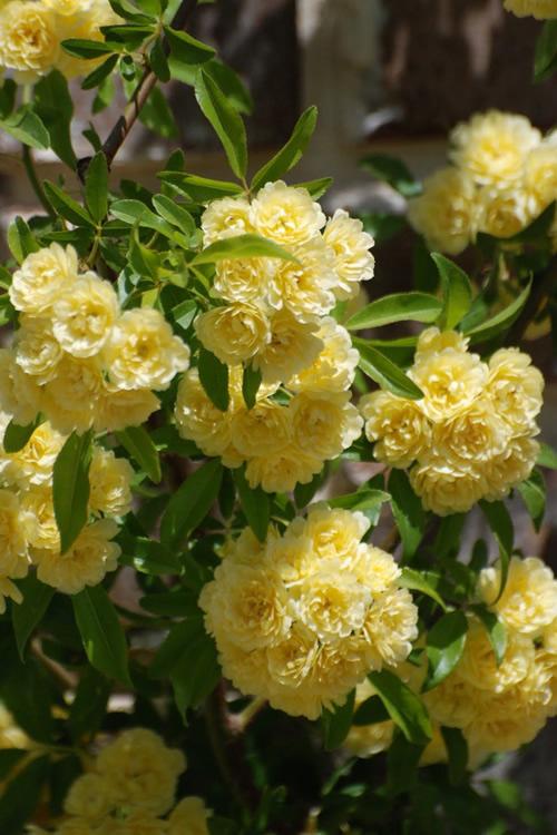 Buy Lady Banks Yellow Rose Free Shipping 3 Gallon Size