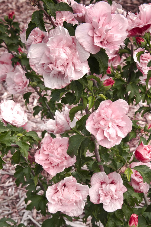 Buy Pink Chiffon Rose Of Sharon Free Shipping 1 Gallon Size