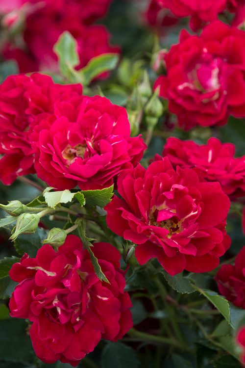 Roses In Garden: Buy Red Drift Groundcover Rose For Sale Online From Wilson