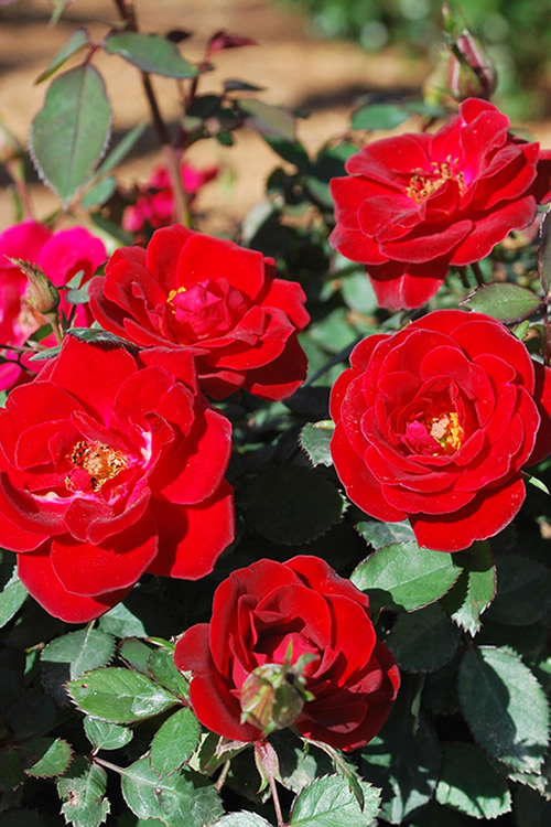 Buy Sunrosa Red Dwarf Shrub Rose For Sale Online From ... | 500 x 750 jpeg 142kB