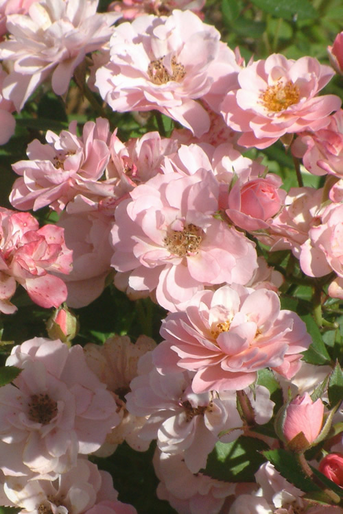 Sunrosa Soft Pink Dwarf Shrub Rose