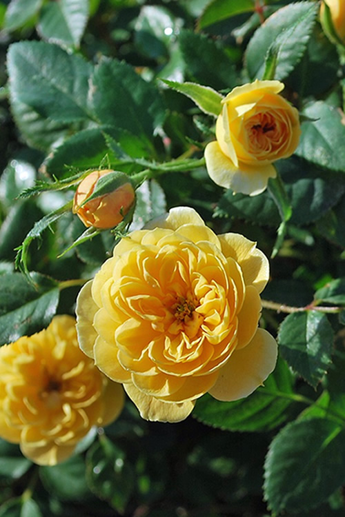 Buy Sunrosa Yellow Shrub Rose For Sale Online From Wilson