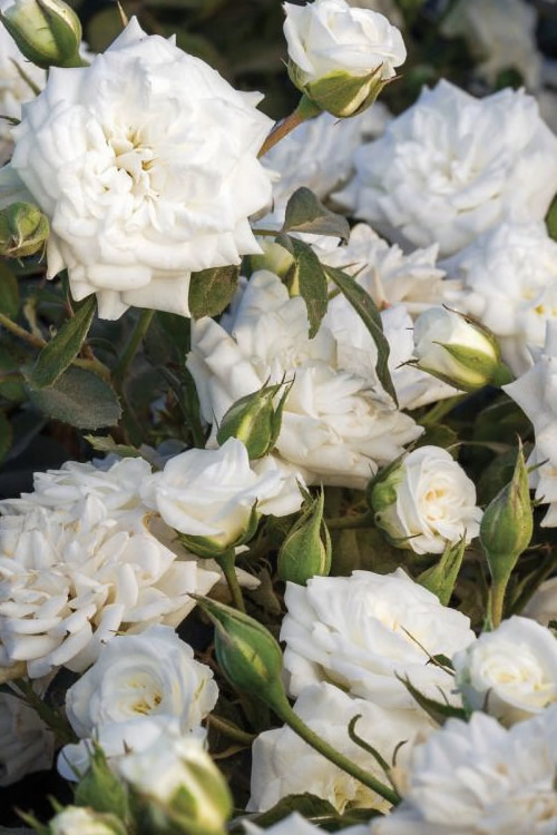 Buy White Drift Rose Bushes Free Shipping 2 Gallon