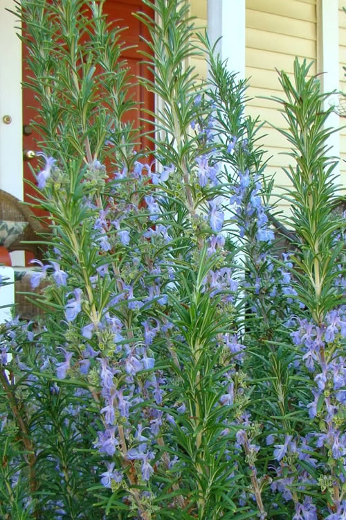 Buy Barbeque Rosemary Plants Free Shipping Herb Plants For Sale