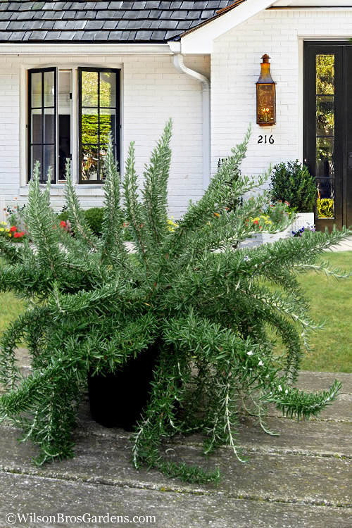 Buy Foxtail Rosemary Plant Free Shipping 5 Pot Size For Sale