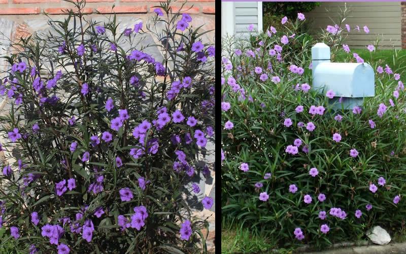Purple Showers Mexican Petunia