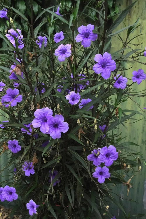 Purple Showers Mexican Petunia - Ruellia - 1 Gallon Pot