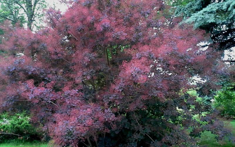 Buy Royal Purple Smoke Tree Cotinus Coggygria For Sale