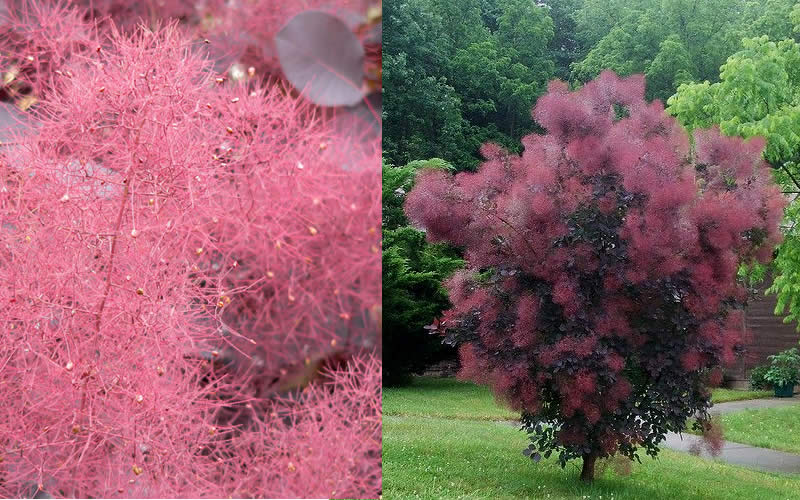 Buy Royal Purple Smoke Tree Cotinus coggygria For Sale ...