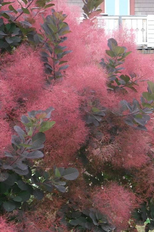 Royal Purple Smoke Tree - Cotinus coggygria
