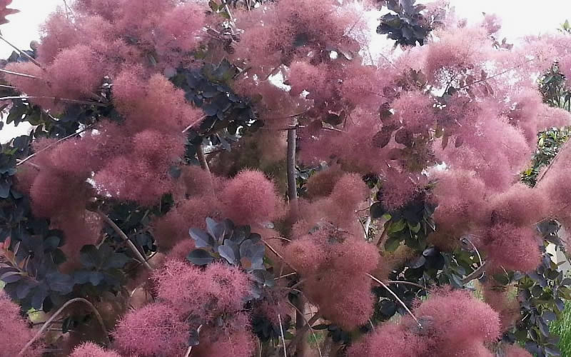Buy royal purple smoke tree cotinus coggygria for sale online from ovate to obovate eucalyptus like leaves to 3 inches long emerge a rich maroon red in spring gradually maturing to deep purplish red to purplish black in mightylinksfo