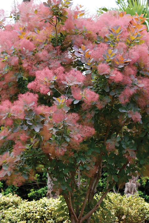 Buy Grace Smoke Tree Cotinus Coggygria For Sale Online