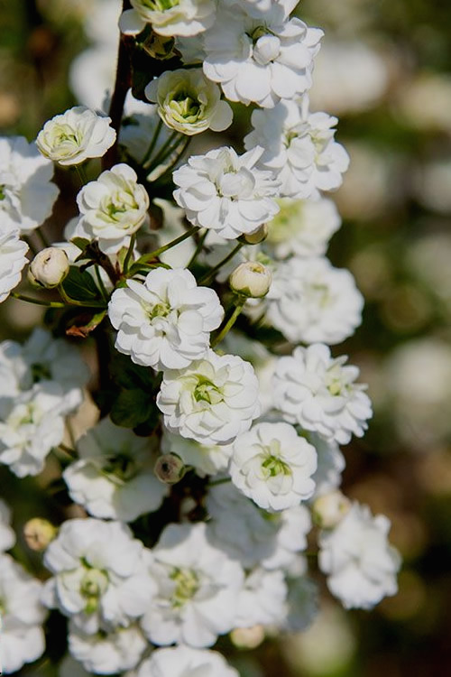 Double Bridal Wreath Spirea prunifolia 'Plena'- 3 Gallon Pot
