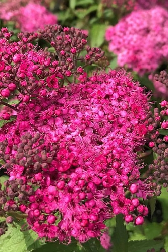 Neon Flash Spirea - 3 Gallon Pot