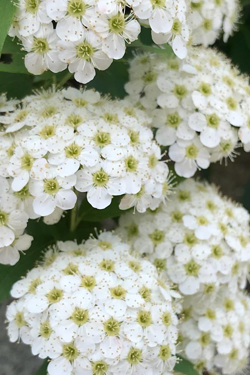 Reeves Bridal Wreath Spirea - 1 Gallon Pot