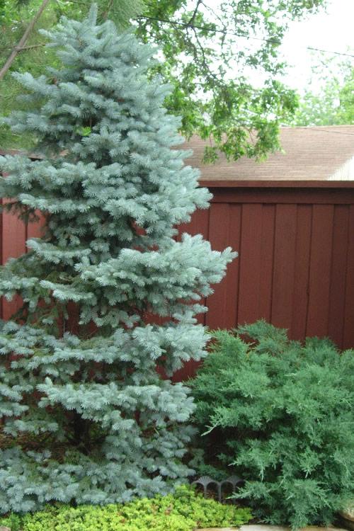 Baby Blue Colorado Spruce