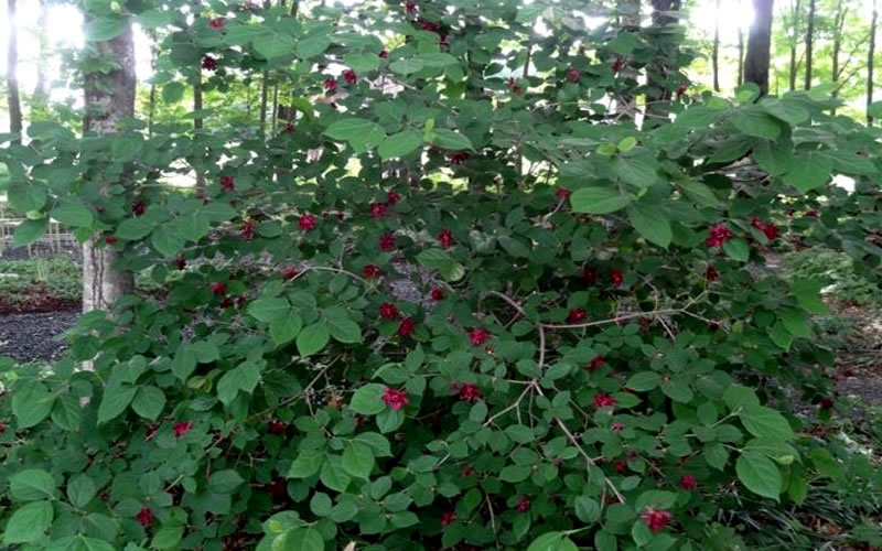 Buy Sweetshrub Carolina Allspice Free Shipping 3
