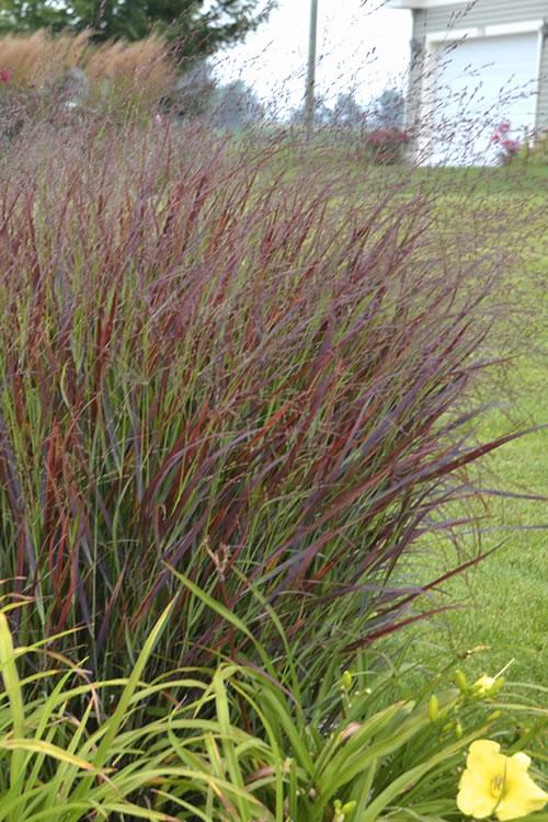 buy prairie winds cheyenne sky switch grass panicum virgatum plants for sale online from wilson