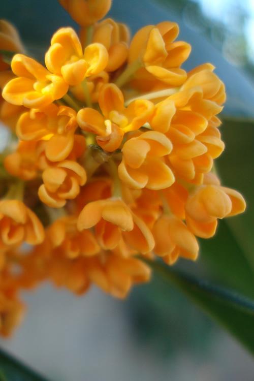 Buy orange tea olive best prices wilson bros gardens osmanthus fragrant orange tea olive sweet olive mightylinksfo