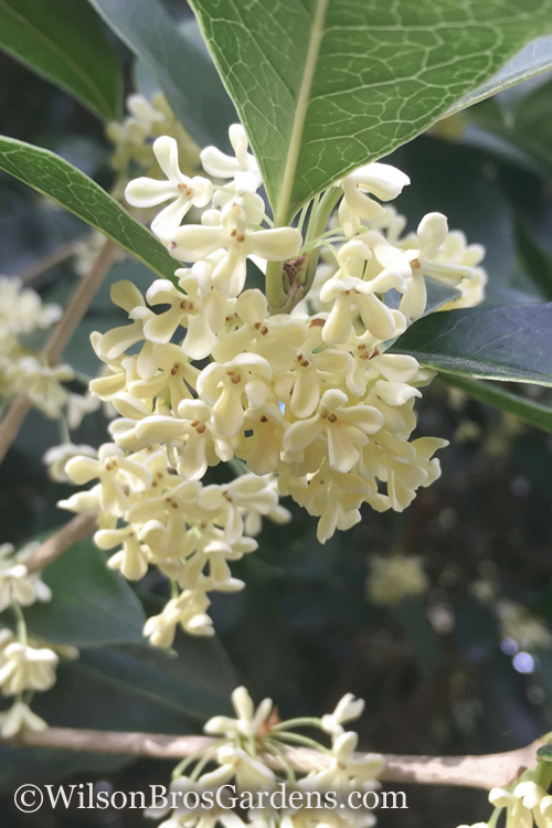 Buy fragrant white tea olive for sale online from wilson bros gardens the fragrant tea olive osmanthus fragrans also called sweet olive is a large evergreen shrub or small tree that produces copious amounts of wonderfully mightylinksfo