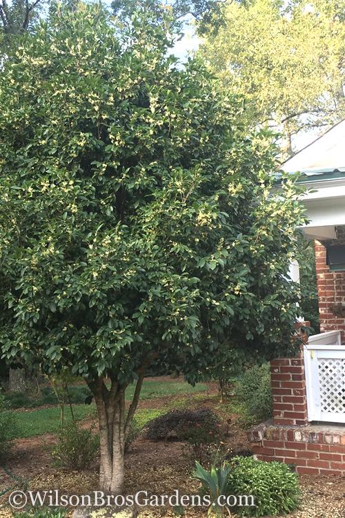 Buy Fragrant White Tea Olive For Sale Online From Wilson Bros Gardens
